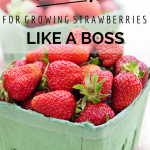 10 Tips For Growing Strawberries {Like A Boss}