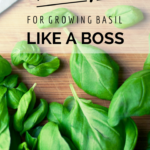 10 Tips For Growing Basil {Like A Boss}