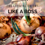 10 Tips For Growing Onions {Like A Boss}