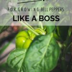 10 TIPS FOR GROWING BELL PEPPERS {LIKE A BOSS}