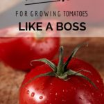 10 Tips for Growing Tomatoes {LIKE A BOSS}
